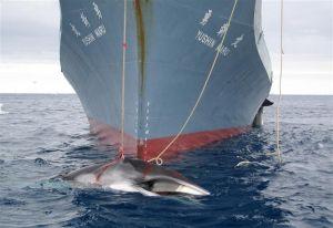 436499-la-coree-du-sud-reprend-la-chasse-a-la-baleine