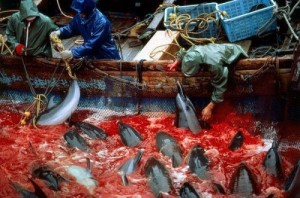Massacre-Taiji-dauphins-21-janvier-photo-500x331